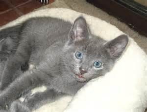 russian blue cats russian blue cat