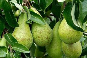 How to grow pears / RHS Gardening