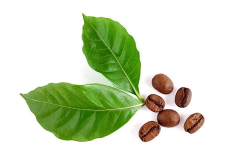 Royalty Free Coffee Leaf Pictures, Images And Stock Photos Kicking Horse Coffee Decaf Ingredients Bedroom Wallpaper Kenya Pictures Careers Starbucks Venti Cup Android Hd Cans