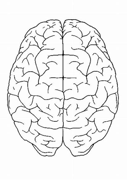 Brain Coloring Anatomy Pages Muscular System Physiology