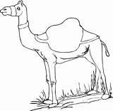 Camel Coloring Camels Pages Printable Animals Drawing Dromedary Desert Drawings Bestcoloringpagesforkids sketch template