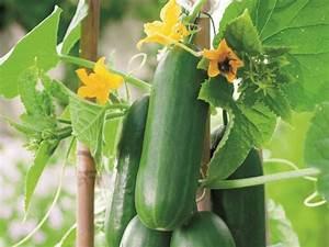 Mini Gurken Pflanzen : snackgurken allegrow ~ Buech-reservation.com Haus und Dekorationen