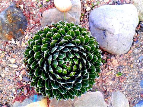 Outdoor Flowering Cactus Plants Garden - DECOREDO