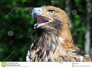 Hawk's Head With Open Beak Stock Photo - Image: 16260110