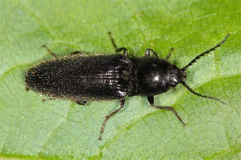 Hemicrepidius Niger  Schwarzer Rauhaarschnellkäfer, Käfer