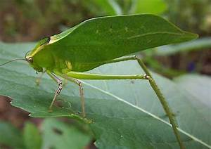 Green flying grasshopper