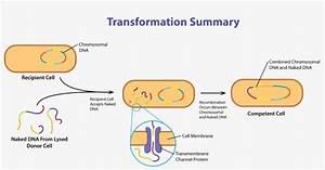 Gene Acquisition Via Transformation - Diagram