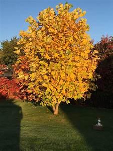 Unsere Sonne Im Garten Tulpenbaum Everything Pear