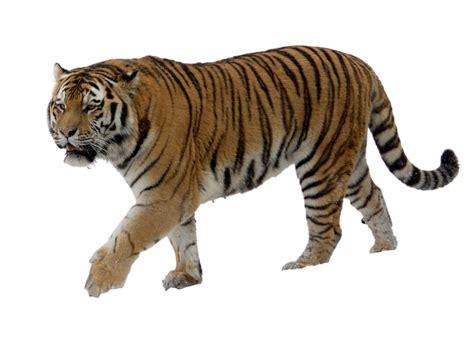 tiger png transparent images  pics  transparent