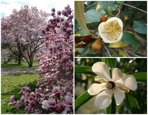 varieties of magnolia trees magnolia tree varieties by jfp122 46 other ideas to discover on pinterest pear trees early