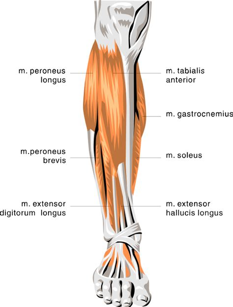 Two muscles of the calf — the gastrocnemius and the soleus — are both subject to strain for different reasons. anatomy lower leg muscles