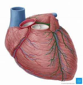 Coronary Arteries  U0026 Cardiac Veins