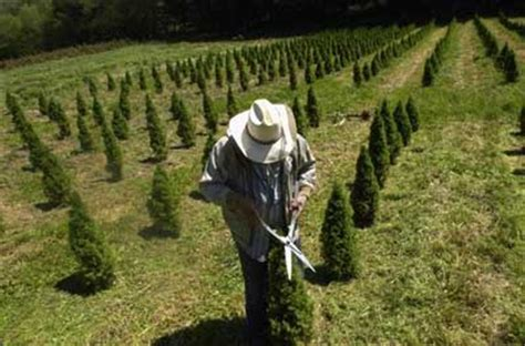 growing the tree howstuffworks - Christmas Tree Producer