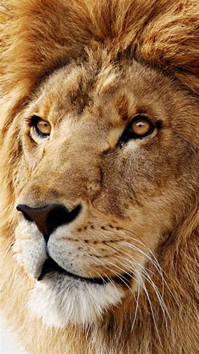 Lion Wallpapers Galaxy Mac Os Samsung Animals
