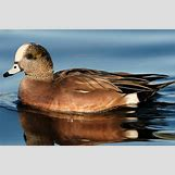 Drake Mallard Duck | 800 x 531 jpeg 191kB