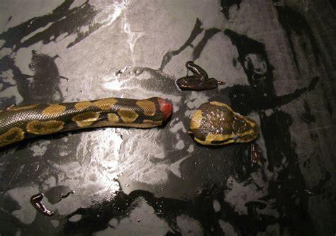 shropshire woman decapitates pet snakes  scissors