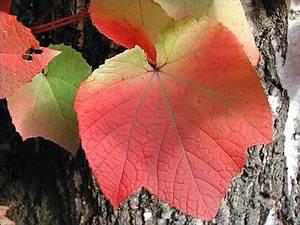 Garten Pur Forum : herbstf rbung der bl tter herbstfarben der pflanzen herbst ~ Lizthompson.info Haus und Dekorationen