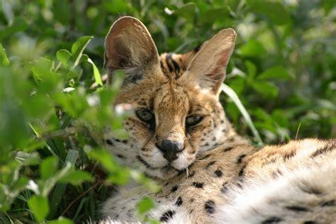 servals emdoneni cheetah project