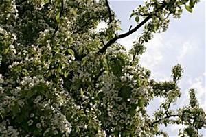 Baum Mit Weißen Blüten : baum mit wei en bl ten download der kostenlosen fotos ~ Michelbontemps.com Haus und Dekorationen