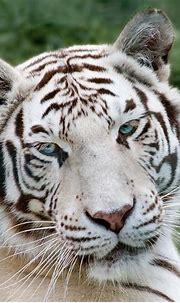 White Tiger   A white tiger seen at Paradise Wildlife Park ...
