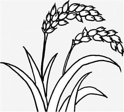 Rice Plant Drawing Hand Lines Getdrawings Painted