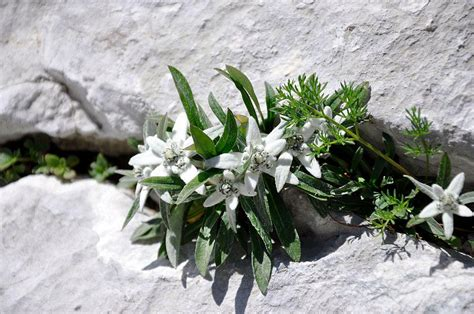 Bansi - Najstarejša zavarovana rastlina: Planika