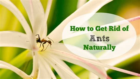 how to get rid of ants in the house how to get rid of ants naturally
