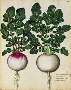 Botanical – Radish – Italian (1) | Vintage Printable at ...