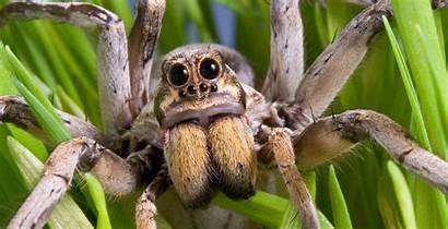 Spider Wolf Scary Bad Common Nothing Than
