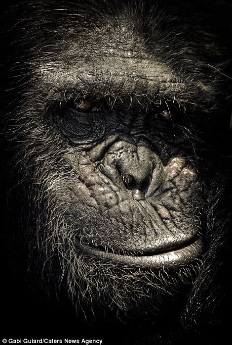 incredible images show  expressive faces  chimpanzees