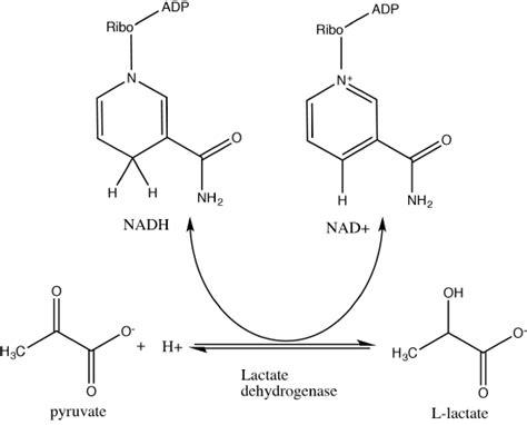 93 Fermentation And Regeneration Of Nad+  Biology Libretexts