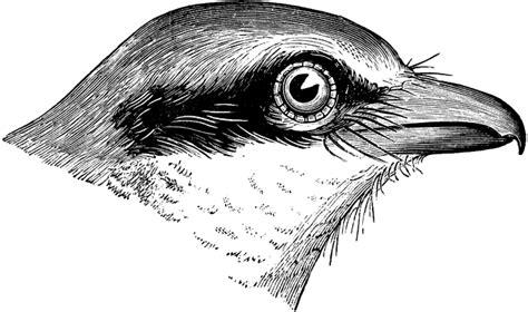 butcher bird head clipart