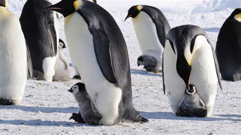 penguins snow ice baby animals birds wallpapers hd