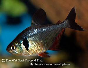63 best images about Freshwater Tetras on Pinterest
