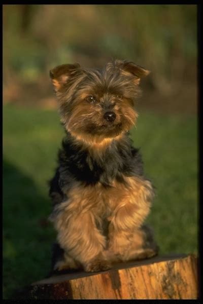 Do Yorkie Poms Shed by Yoranian Breed Information And Pictures On Puppyfinder
