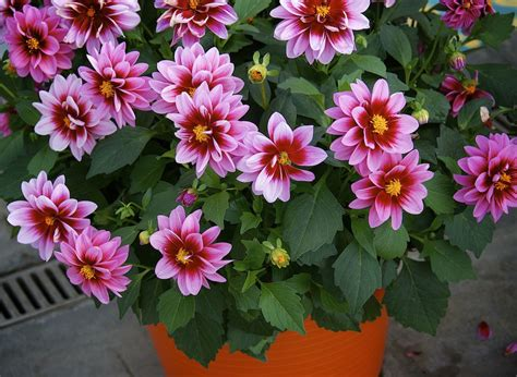 plant dahlias in pots how to grow dahlias in pots