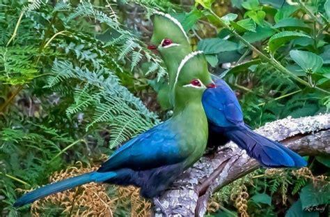 green blue birds turaco pinterest