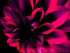 dark pink flower by Ha...