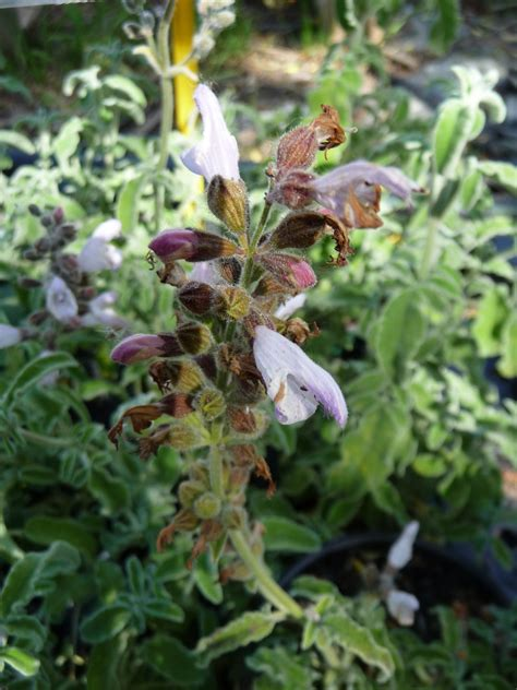 Salvia fruticosa triloba - Les arômes du grès