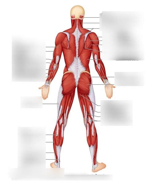 The human muscular system anatomy detailed diagram 20. Human Muscles Diagram - Human Muscles Anatomy System Human ...