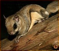 precision wildlife services southern flying squirrels