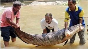 Ikan Air Tawar Raksasa Ini Sangat Ditakuti Ikan Piranha ...