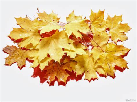 Rudens kļavu lapas - PhotoBlogSite