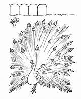Peacock Coloring Pages Printable Colouring Animal Pattern sketch template