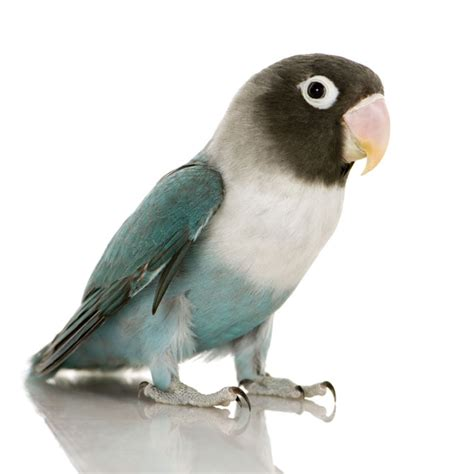 pin mask love birds on pinterest