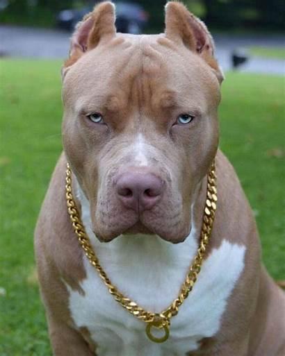 Pitbull Pit Bull Terrier Dog American Bully