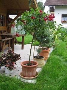 Rosen Im Topf überwintern : in welchen topf soll die rose mein sch ner garten forum ~ Orissabook.com Haus und Dekorationen