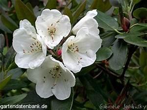 Wann Blüht Der Rhododendron : rhododendron souliei schneiden pflege pflanzen bilder fotos garten ~ Eleganceandgraceweddings.com Haus und Dekorationen