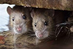 Mäuse Bekämpfen Haus : ungebetene g ste im haus was hilft gegen m use www ~ Michelbontemps.com Haus und Dekorationen