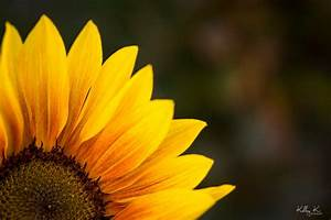 Sunflower by Kelley Krohnert